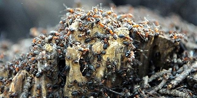 Kırmızı Karıncaların Yaşam Alanı Değiştirildi