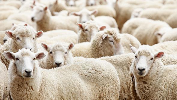 """""""Köyüme Dönüyorum"""" diyene 300 koyun"""